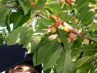 サクランボ直送、6月も受け付け 松川町の観光農園