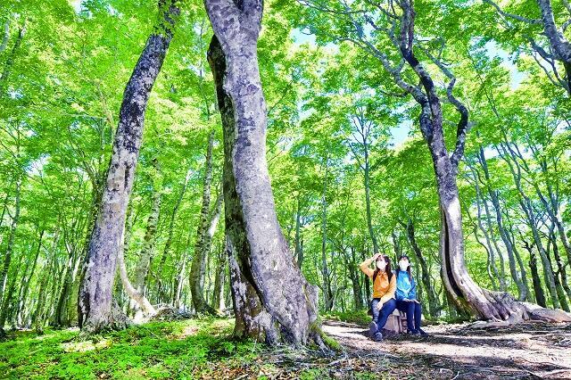 日が差し、輝きを増すブナ林の新緑=5月28日午前10時45分ごろ、福井県大野市巣原の平家平