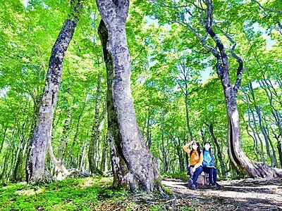 ブナ林、新緑鮮やか 大野市の平家平