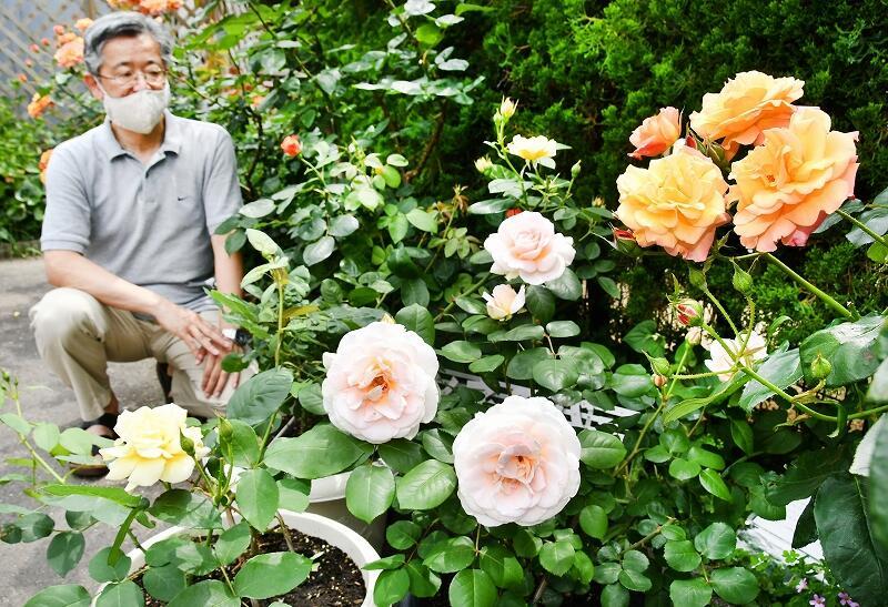 見頃を迎えた(右から)アンネのバラとプレイ、セントコルベ=5月25日、福井県敦賀市三島町1丁目の聖イエス会敦賀教会