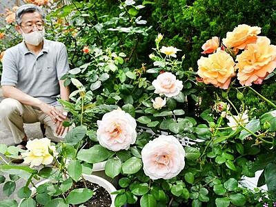 アンネのバラ満開 敦賀の教会