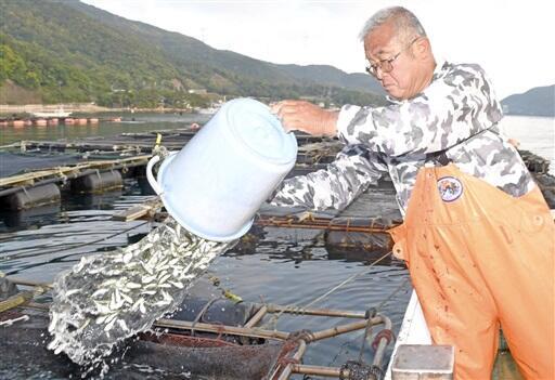 敦賀ふぐの稚魚をいけすに移す地元漁師=5月29日、福井県敦賀市色浜