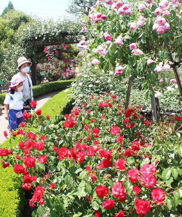鮮やかに園内を彩るバラ