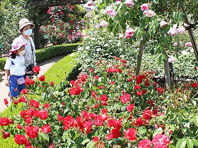鮮やかバラ見頃 砺波の県花総合センター