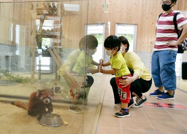 営業再開した福井県鯖江市西山動物園でレッサーパンダを見る親子連れ=6月1日