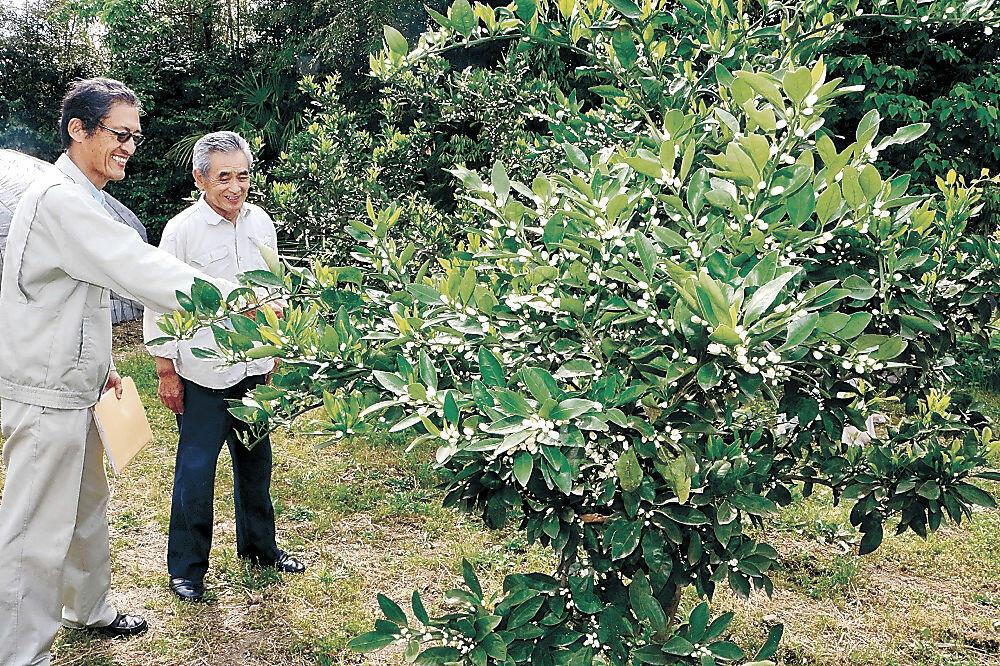 ミカンの木の生育状況を確認する関係者=中能登町坪川