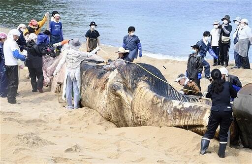 クジラの死骸を検体する国立科学博物館の研究員ら=6月2日、福井県美浜町竹波