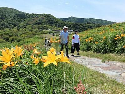 初夏告げる黄色鮮やか 佐渡・大野亀 トビシマカンゾウ