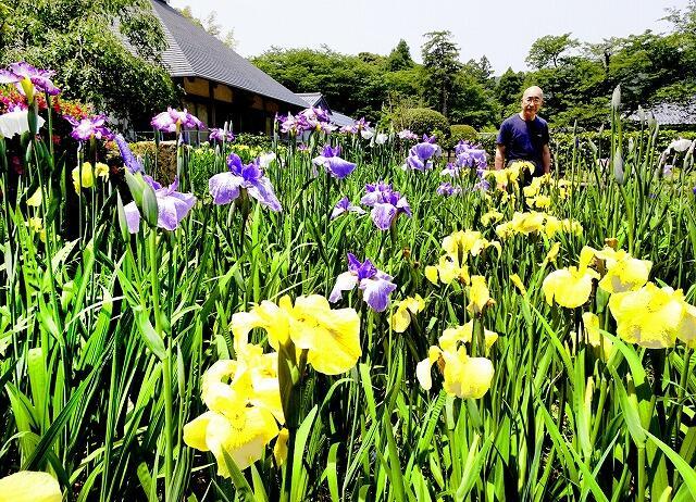 黄色や紫色がきれいなハナショウブ=6月5日、福井県小浜市浅間の常高寺
