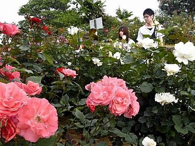三方五湖望む山頂公園でバラ見頃 福井県 6月中旬まで