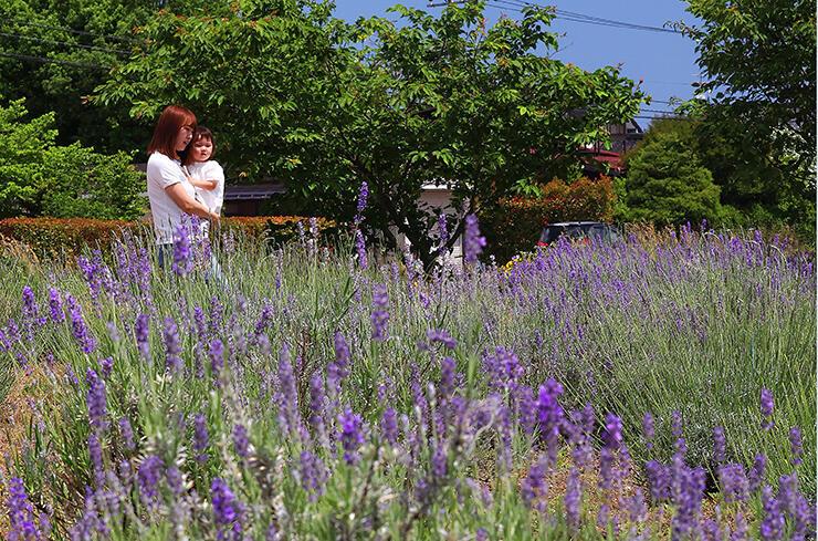 爽やかな香りを漂わせるラベンダー=富山市池多