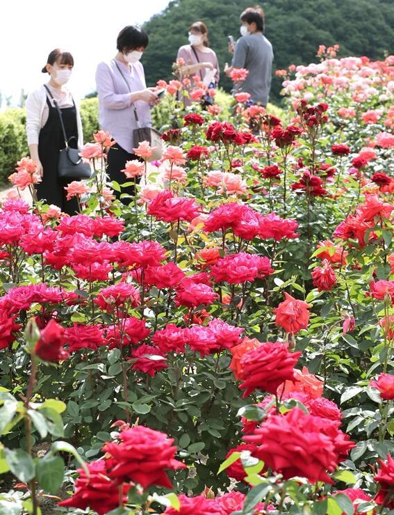 香り高く咲き誇るバラを観賞する来場者=7日、長岡市