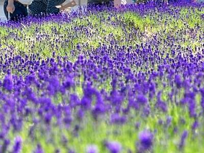 香りが誘う紫のじゅうたん ラベンダー咲く 福井県坂井市