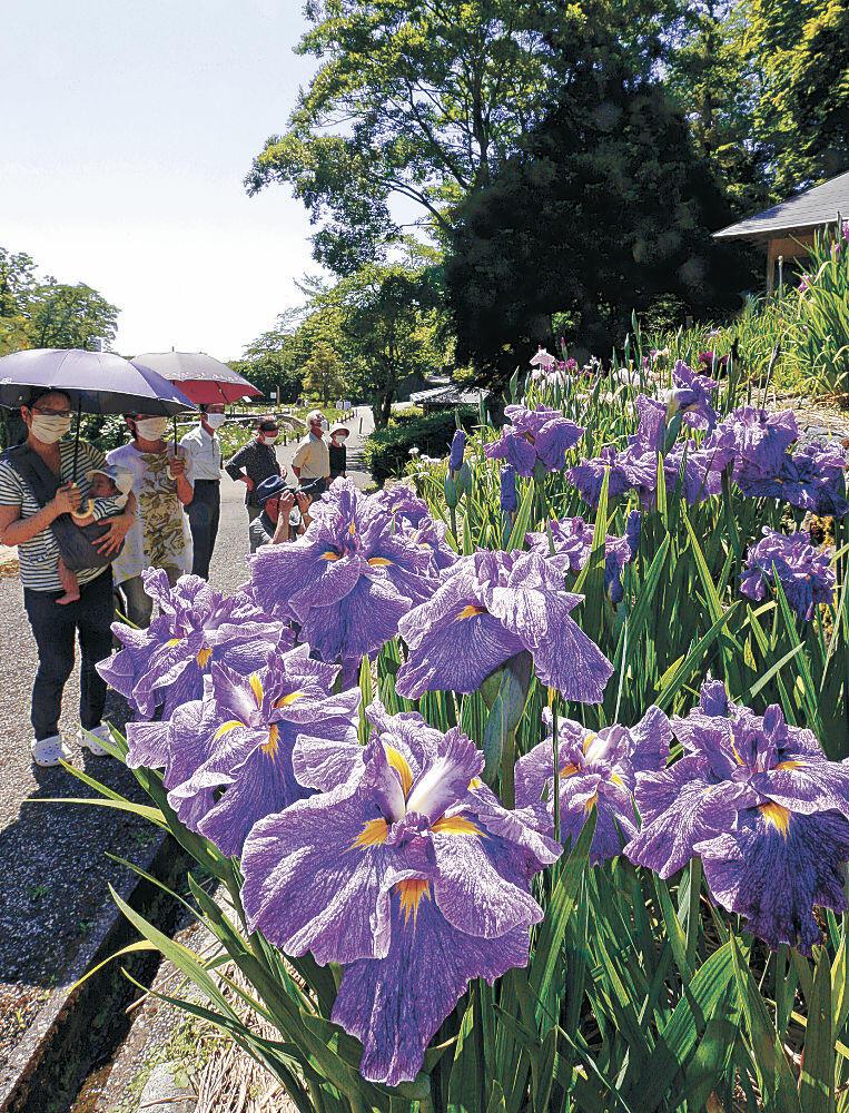 紫色の花を咲かせたハナショウブ=金沢市の卯辰山花菖蒲園