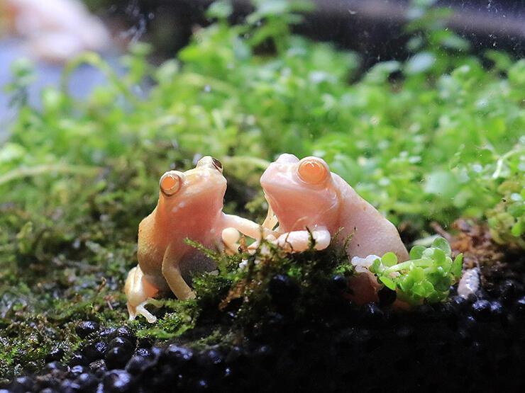 赤い目をした白色の体のカエル(右)と黄味がかった色の体のカエル