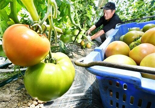 肉厚に育ち、次々と収穫される「越前とまと」=6月8日、福井県福井市大瀬町