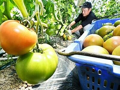 夏の恵みずっしり 「越前とまと」福井で収穫ピーク