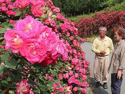 バラの道一面香る 「羽茂春風バラロード」見頃