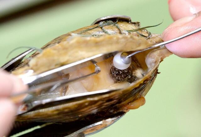 アコヤガイの卵巣に切り込みを入れ、直径6ミリほどの核や外とう膜を移植していく