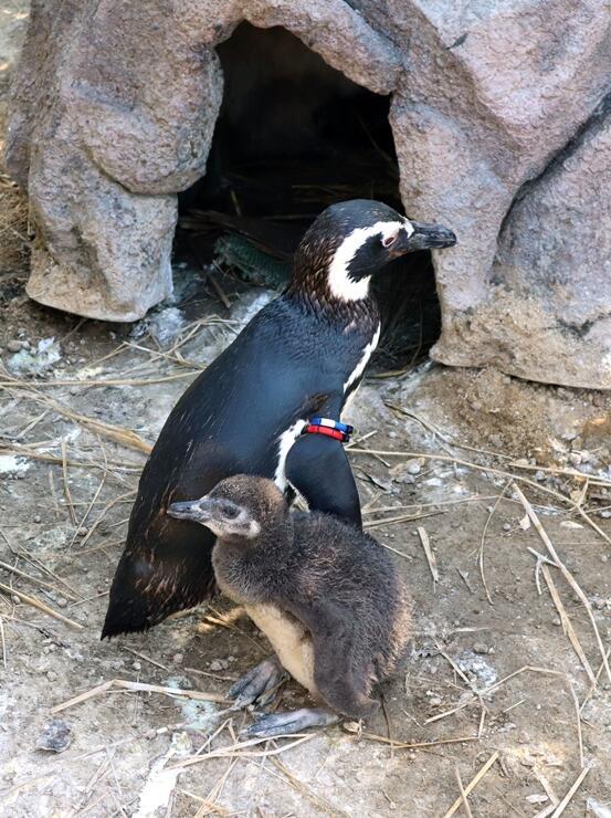 親ペンギンと一緒にいるマゼランペンギンのひな=8日、上越市立水族博物館「うみがたり」