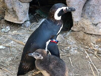 ペンギンのひな 会いに来て 上越・うみがたり