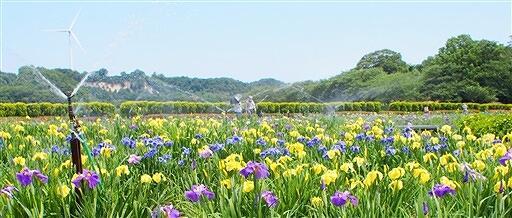 北潟湖畔で鮮やかに咲き誇るハナショウブ=6月9日、福井県あわら市北潟