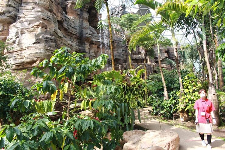 新たにコーヒーノキなどが植えられ、リニューアルした県立植物園の熱帯植物ドーム=新潟市秋葉区