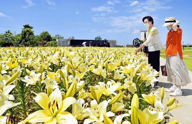 見頃を迎えているユリの花=6月10日、福井県坂井市春江町の「ゆりの里公園」