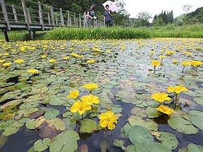 水面覆う黄色い花園 長岡・越後丘陵公園 アサザ満開