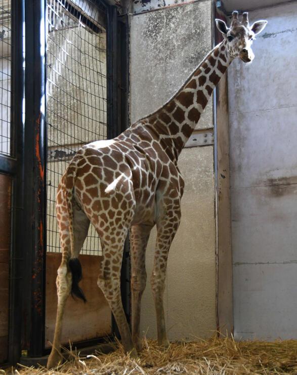 茶臼山動物園に仲間入りしたアミメキリンの「キララ」=15日