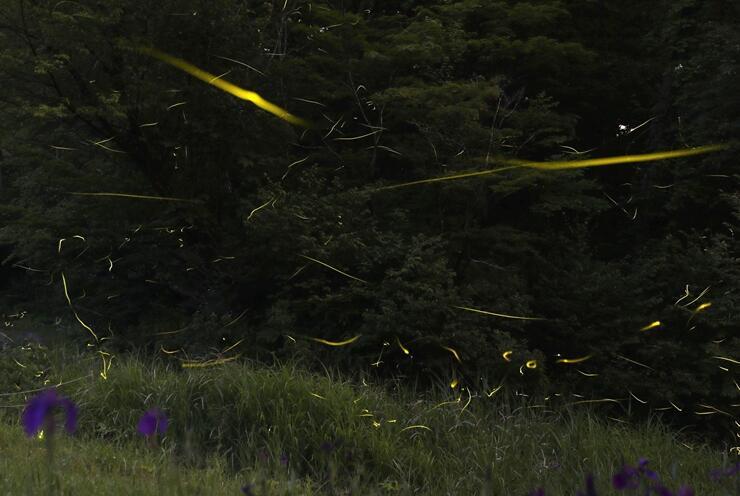 ほのかな光を放って飛び交うホタル=15日夜、長岡市の雪国植物園