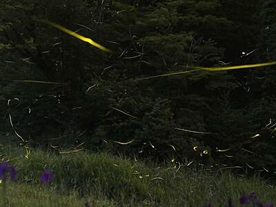 ホタルが導く幻想世界 長岡・雪国植物園で観賞会