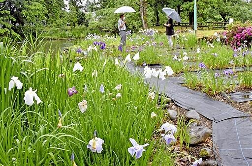 約3千株が咲き誇る「とねき沢公園」のハナショウブ=6月13日、福井県大野市右近次郎