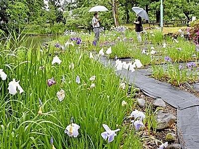 ハナショウブ3千株 紫や白咲き誇る 福井県大野の公園