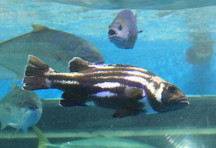 富山湾で捕獲されたオイボの若魚=魚津水族館