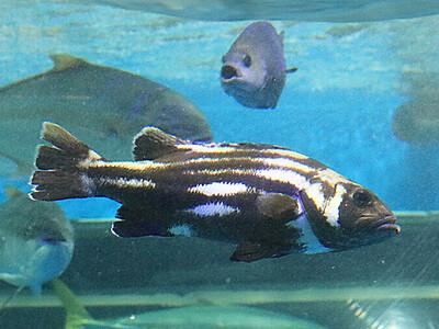 富山湾のオイボ仲間入り 魚津水族館で20年ぶり展示