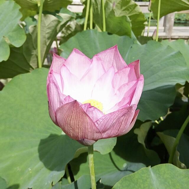 今シーズン初めて開花した「巨椋の彩雨」=6月17日、福井県南越前町中小屋の花はす公園