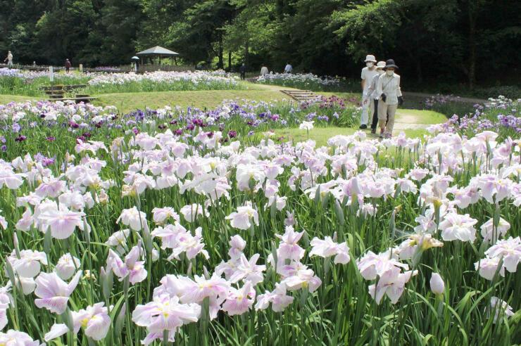 見頃を迎えようとしているしらさぎ森林公園のハナショウブ=三条市矢田