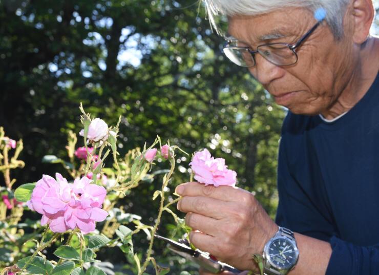 バラの咲き具合を確かめる〓谷さん(〓は、雨カンムリに雅のツクリ、その右に鳥)