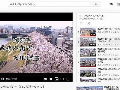 福井市の桜の名所をYouTubeで紹介 「ふくいサクラPRチャンネル」開設