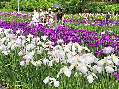 ハナショウブ300品種最盛期 新発田・五十公野公園