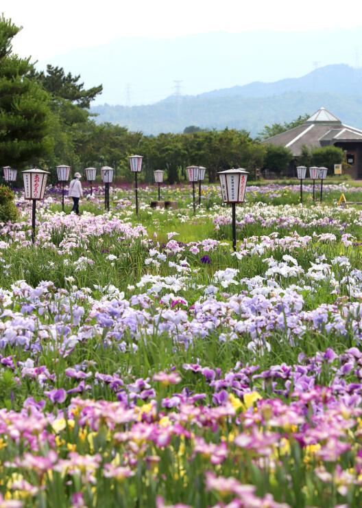 色鮮やかに瓢湖あやめ園を彩るアヤメやハナショウブ=19日、阿賀野市水原