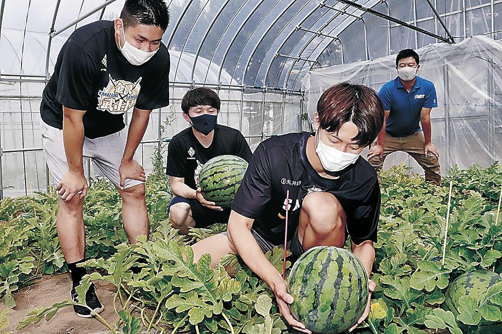 金沢すいかを収穫する金沢武士団の選手=下安原町