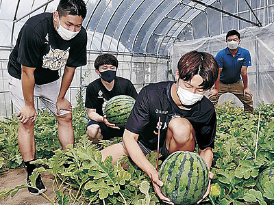 金沢すいか「ボールより大きい」 金沢武士団選手が収穫体験