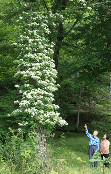 樹木の幹に巻き付いて白い花を咲かせたツルアジサイ=23日、根羽村