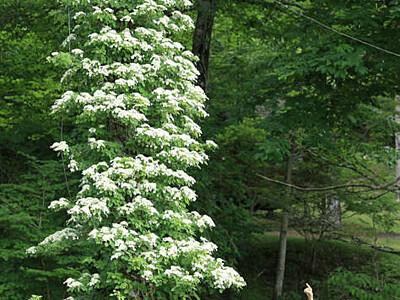 ツルアジサイ、高く白く美しく 根羽・茶臼山高原