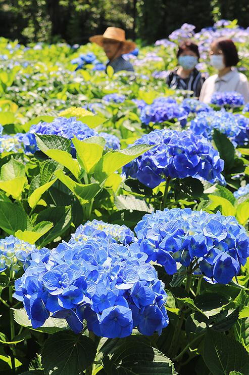花の森・天神山ガーデンで見頃を迎えているアジサイ=魚津市小川寺