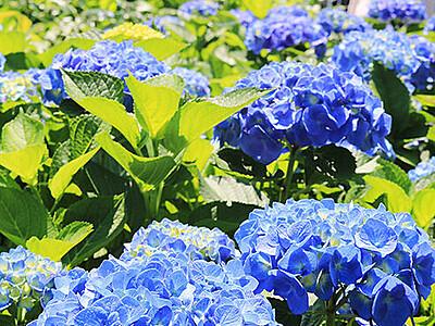 アジサイ色鮮やか 魚津の天神山ガーデン