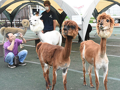 八ケ岳山麓、かわいい動物たち 「サマーカット」アルパカなど