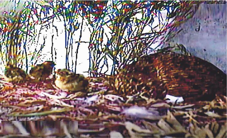 母鳥(右)とふ化した3羽のひな=3日午前9時半ごろ、富山市ファミリーパーク(同パーク提供)